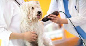 tosare il pelo del cane