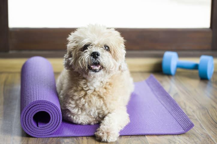 displasia dell'anca nel cane esercizi