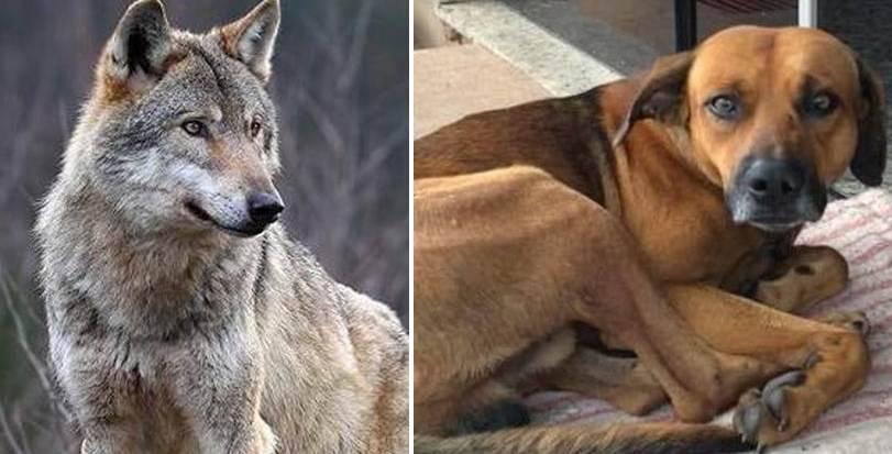 lupi più solidali dei cani