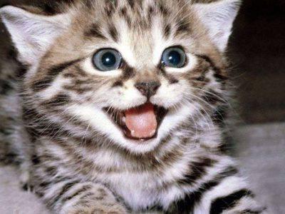 Miagolio del gatto