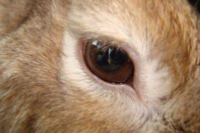 occhio coniglio