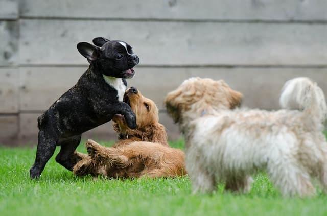 cucciolo dominante