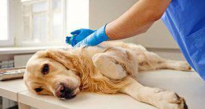 Sterilizzazione di un cane