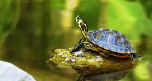 Tartaruga di acqua dolce