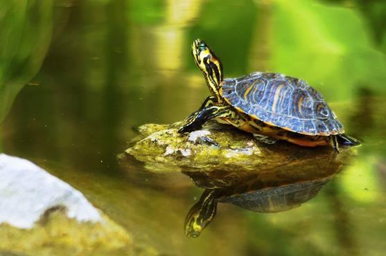 Tartarughe di acqua dolce tutte le caratteristiche delle for Acqua tartarughe