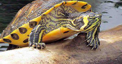 Tartaruga acqua dolce