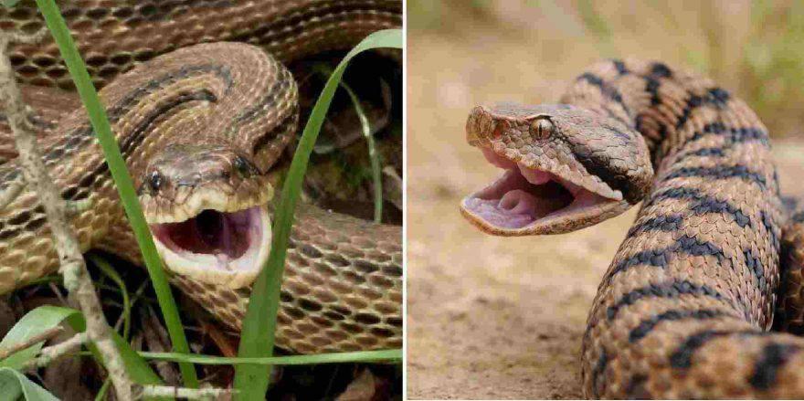 serpenti innocui scambiati per vipere