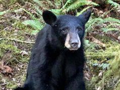 cucciolo orso ucciso