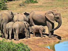 elefanti abusati
