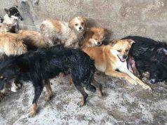 yulin salvati 62 cani