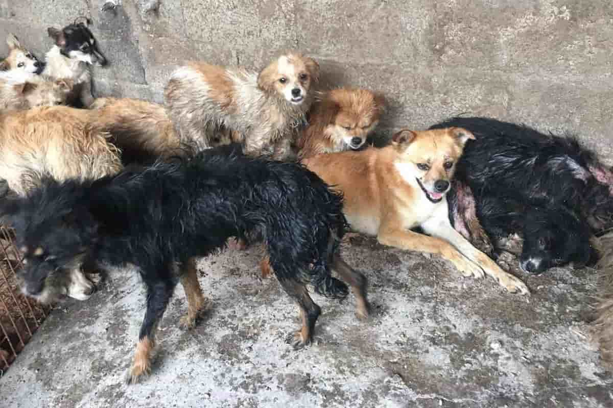 yulin salvati 62 cani