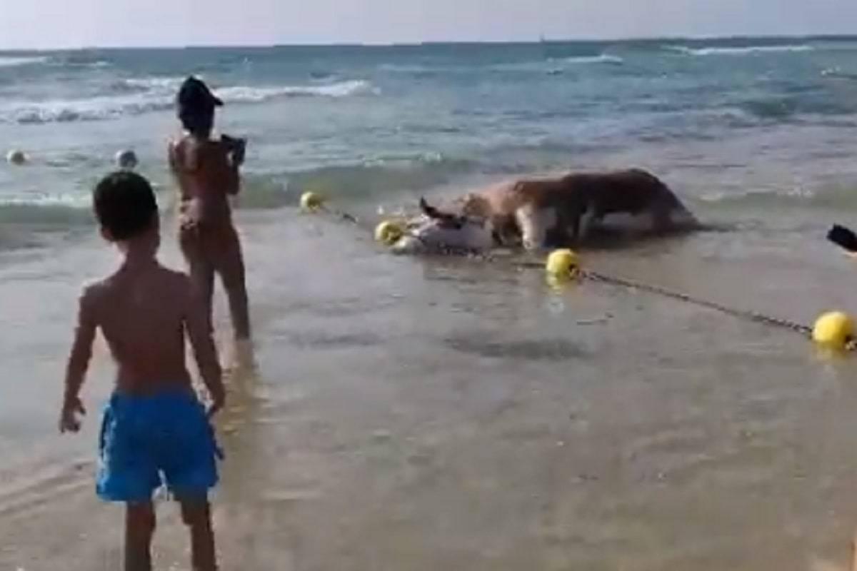 resti mucca spiaggia