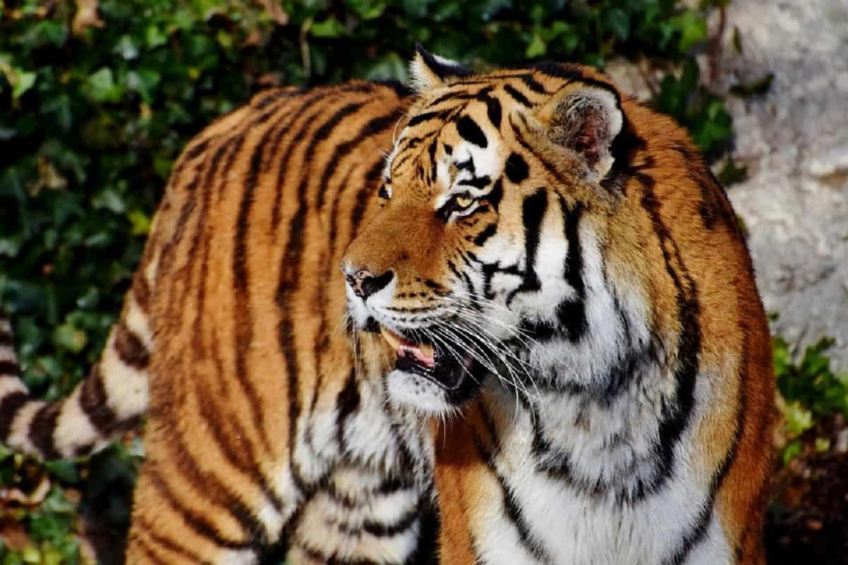 assalto tigre