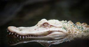 rettili albini alligatore