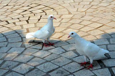 piccioni bianchi albini
