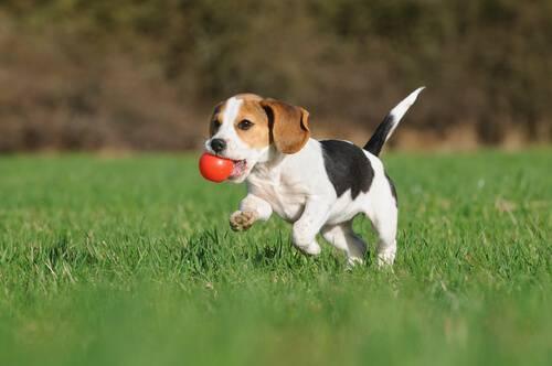 cucciolo che corre