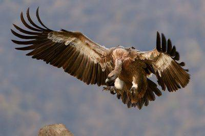 Strage di avvoltoi