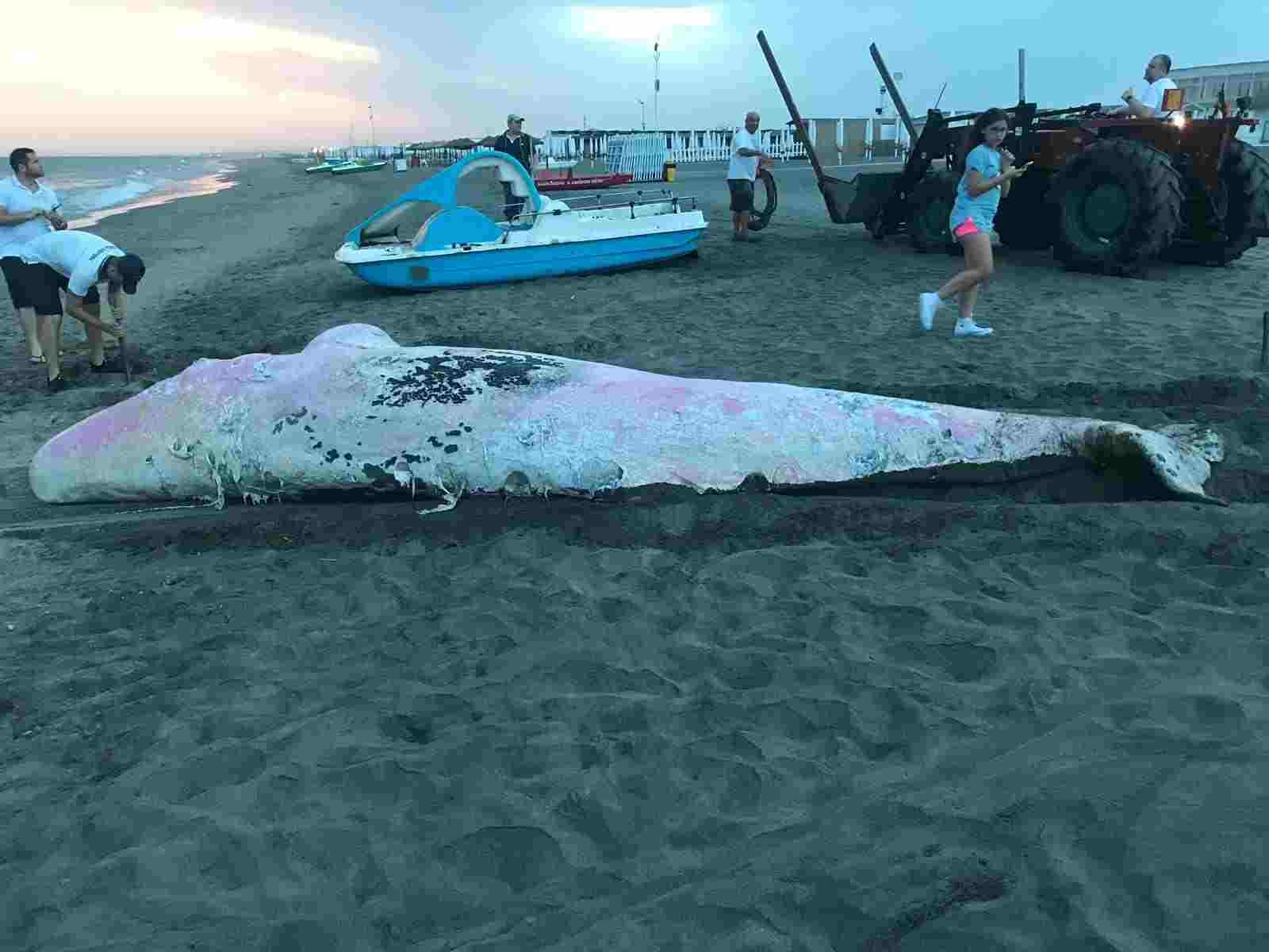 balene spiaggiamento italia