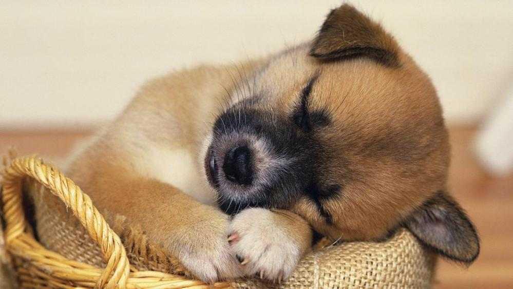 Cucciolo cane che dorme