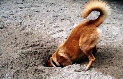 Cane che nasconde il cibo