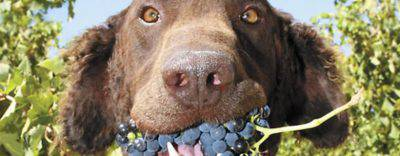 Uva al cane