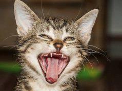 Denti del gatto