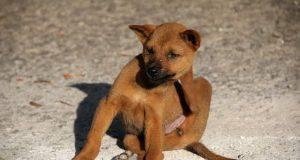 malattie della pelle dei cani dermatite