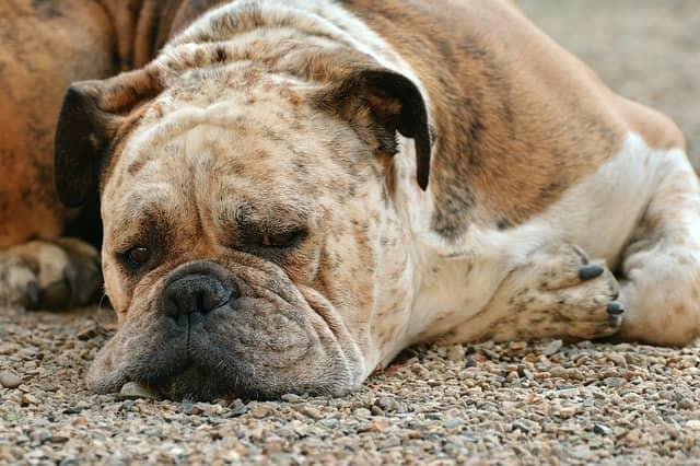 croste sulla pelle del cane boxer