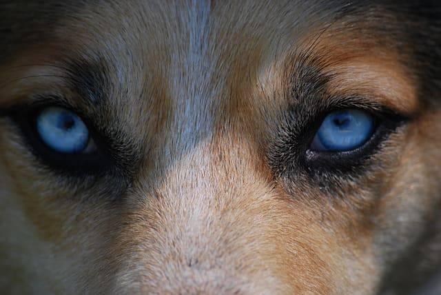 cane corpo estraneo nell'occhio