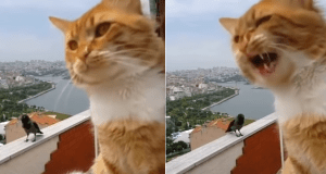 gatto corvo