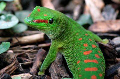 Geco del Madagascar
