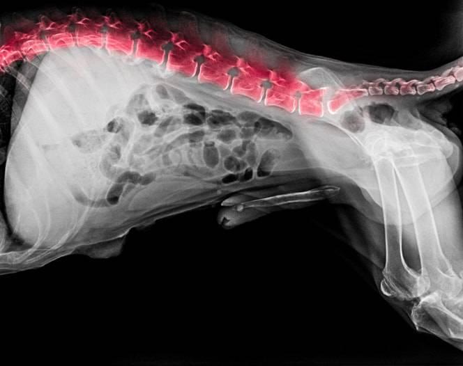 mal di schiena nel cane
