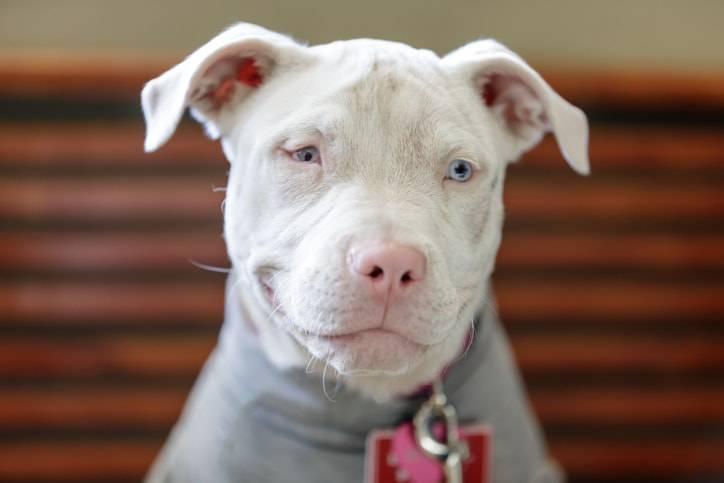 cane albino caratteristiche e cura