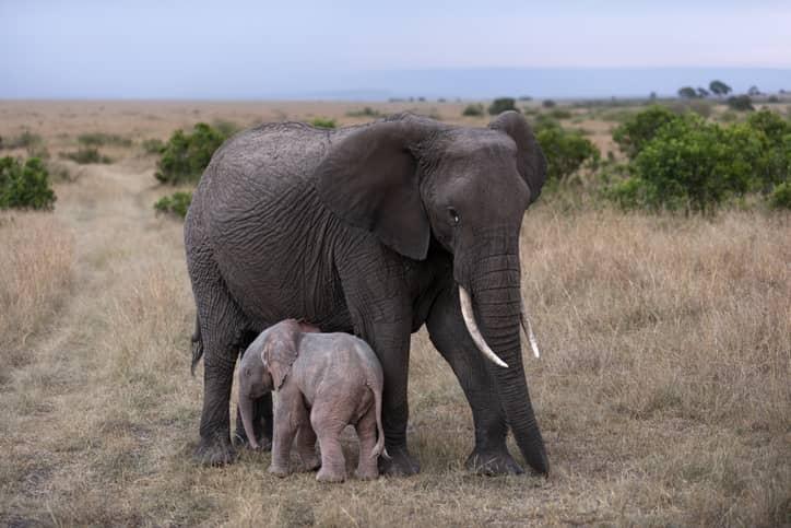 animali albini elefante rosa