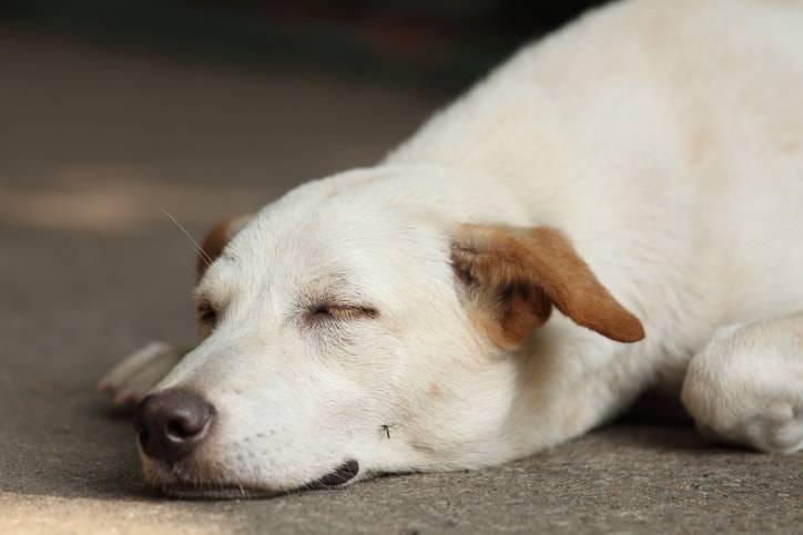 punture di zanzare nel cane malattie