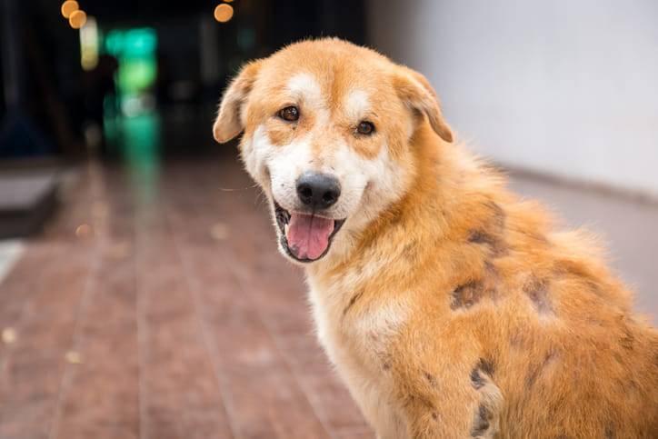 cani malattie della pelle