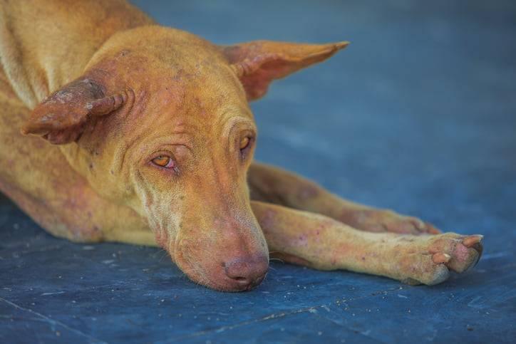 dermatite seborroica del cane