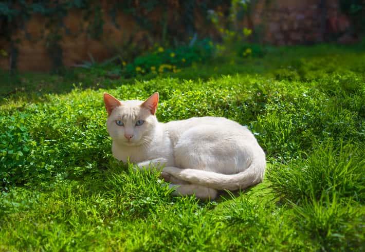 gatto albino sordo