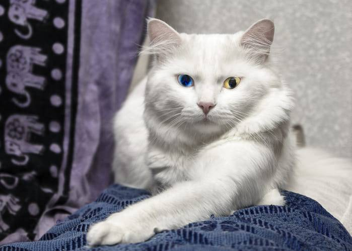 gatto albino caratteristiche