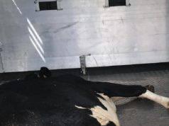 mucca trasporto animali vivi