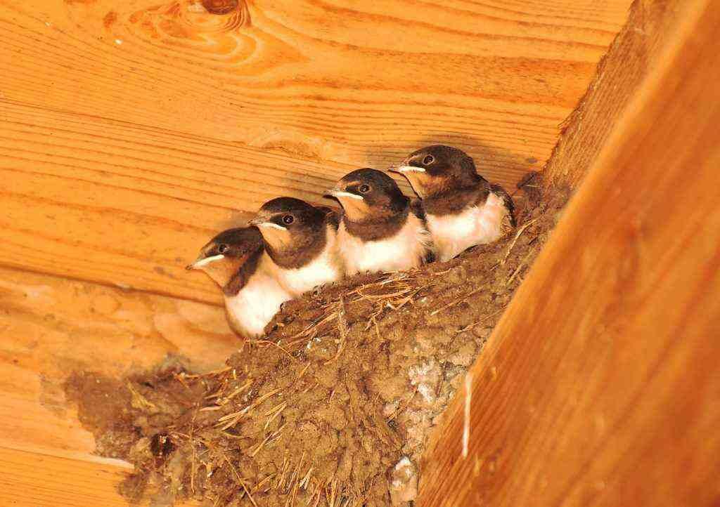 Rondine al nido