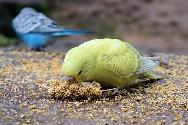 pappagallo cosa mangia