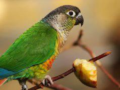 pappagallo e il cibo
