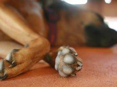 asfalto bollente cani zampe