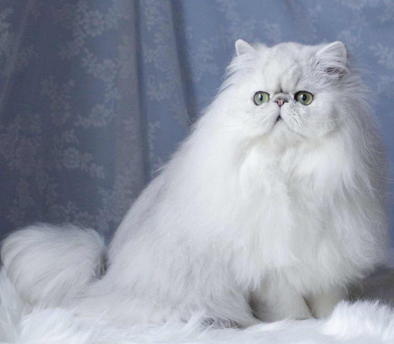 eliminare grovigli gatto pelo lungo
