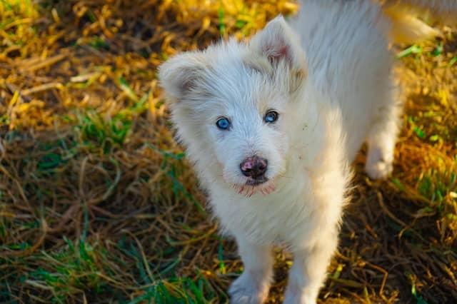 cane albino cucciolo