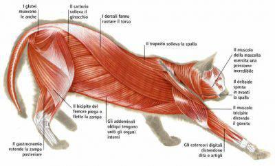 sistema muscolare del gatto