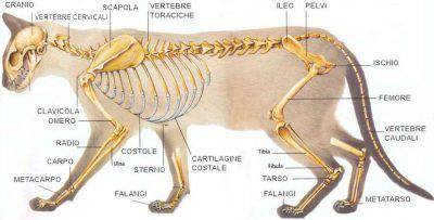 sistema osseo del gatto