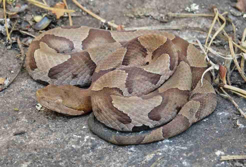 serpenti letali