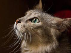 baffi nel gatto vibrisse